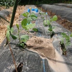 畑に、敷き藁