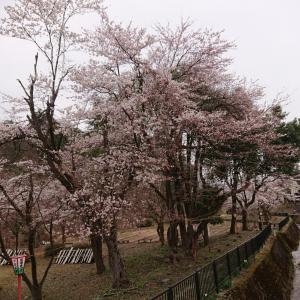 船岡公園の桜は、5部咲き?
