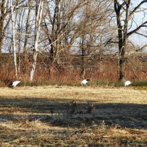今日もタンチョウ12羽来てました! 久しぶりの鳥もいました