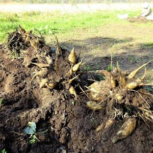 菜園最後の収穫 ヤーコン