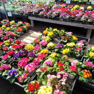母の誕生日に花の鉢植えと今日も一捨