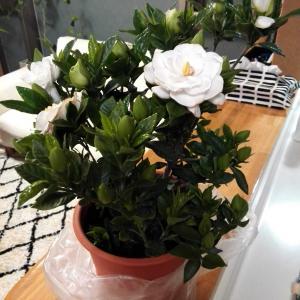 クチナシの花と今日の昼食