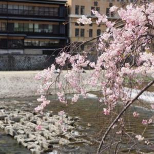 京都の鴨川で桜を見ながら観光地を散歩できるおすすめの場所とは?