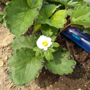 イチゴの開花確認