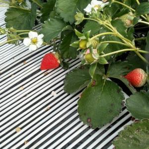 イチゴ、収穫開始と今年もイチゴ泥棒が現れました