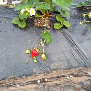 超遅植えのイチゴ その後