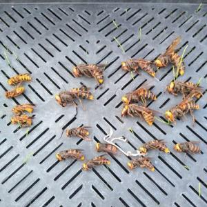 セイヨウミツバチの天敵オオスズメバチ捕獲