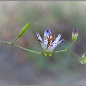 タオワンホトトギスの花