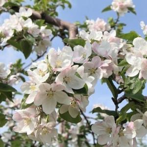 """果樹園の""""リンゴの花""""満開..."""