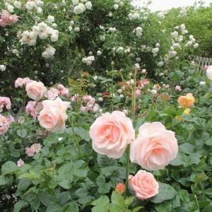 """旧イギリス領事館の庭園に咲く""""バラの花""""..."""