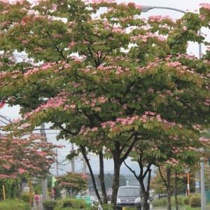 """街路樹""""ヤマボウシ""""咲く"""