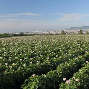 """丘一面に咲く、満開の""""ジャガイモ""""の花..."""