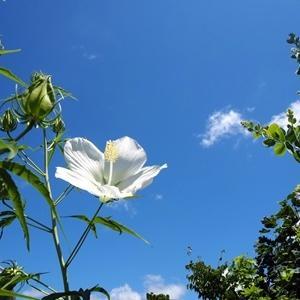 白花モミジアオイ