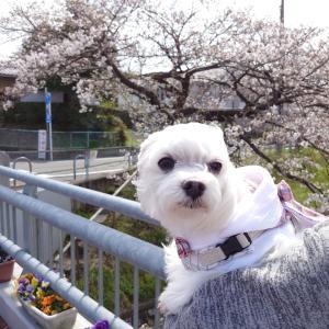 ちょこっと見れた桜…