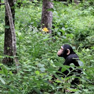 森の中のチンパン君、いい顔してるなあ~「雫石・松ぼっくり」のジェラートを片手に散策