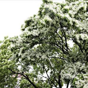 「なんじゃもんじゃの樹」と「リーベのアールグレイ」<盛岡・桜山界隈>