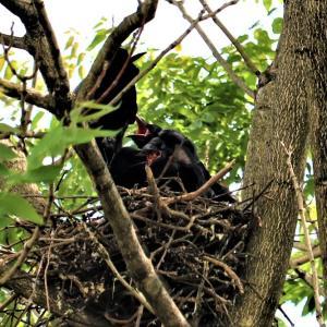 盛岡の街中でカラスが子育て、なかなか巣立ちをしないようです(笑)
