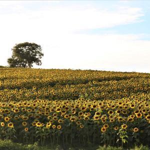 秋に咲く向日葵の丘の物語「一戸町、奥中山高原の丘一面に今年も咲いた!」