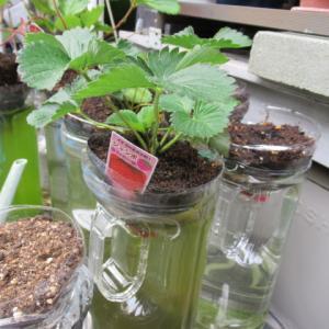 イチゴの水栽培