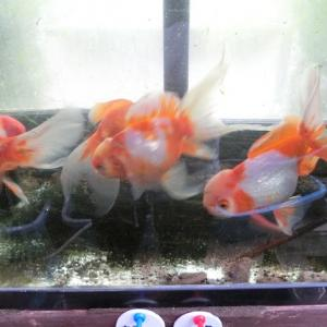 どこどこ産金魚と私の金魚で作りました