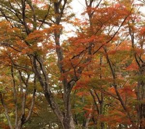 紅葉は見頃ってちょっと違うかも。