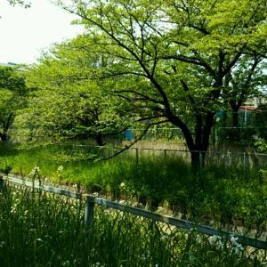 5月の見沼代用水