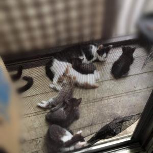 7月生まれの子猫16匹現場からの子猫救出