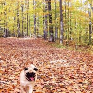 おパグさんと行く、オフリーシュ紅葉トレイル散歩