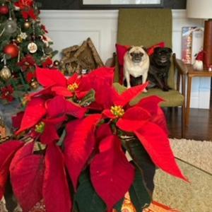 おパグさんと一緒に、クリスマス・デコレーション続いています