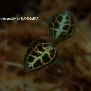 冬期うつ病 Pic:ジュエルオーキッド Anoectochilus lobbianus