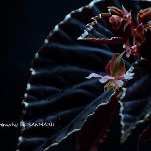 ベゴニア・ダースベイダリアナは結実するのか Begonia darthvaderiana