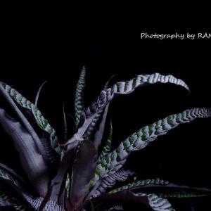 絶対零度な植物!クリプタンサス・アブソリュートゼロ
