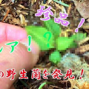 謎の野生蘭について動画をアップしました!