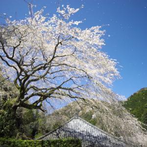 楞沢寺の里桜