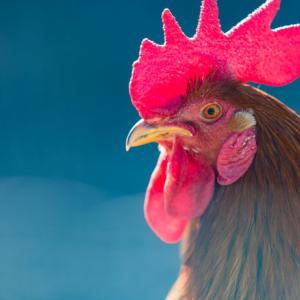 【セブ島摩訶不思議:解決】おーい、チキンが見つかったぞ!
