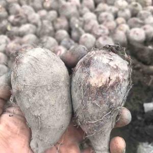 おじいちゃんの海老芋👴