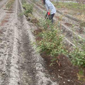 イタリア農法ならぬイタモチ農法