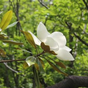 泰山木の花仰ぐ