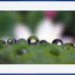 水玉に咲く蓮の花
