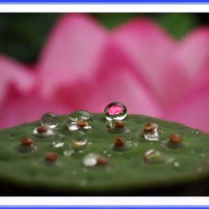 水玉に咲く蓮花