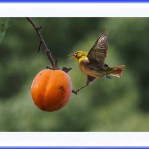 野鳥が柿にアタック