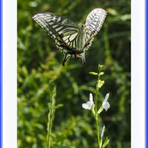 蝶の奴さん