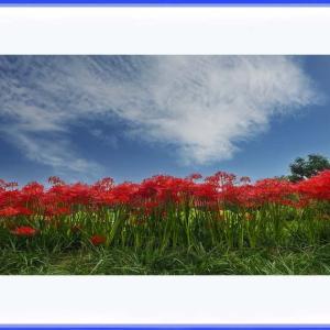 雄々しく咲く曼珠沙華