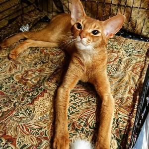 ウナギとキャットショー★TICA CAT SHOW