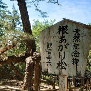 香川県観音寺市 ~根上がり松~
