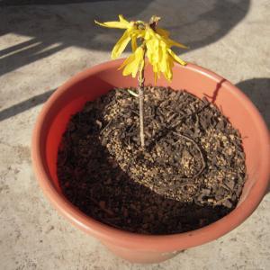 挿し木のレンギョウに花が咲いた