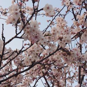 22戦目    桜咲いても