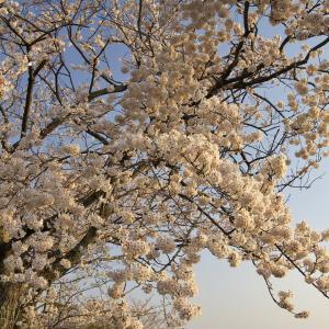 最初が峰 桜と夕陽