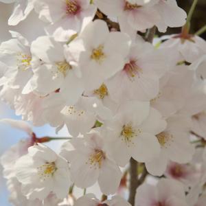 安居橋の桜 (2019)
