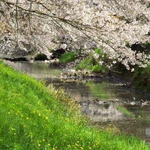 黒井川の桜
